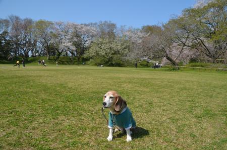 20200402佐倉の桜と桜城址公園34