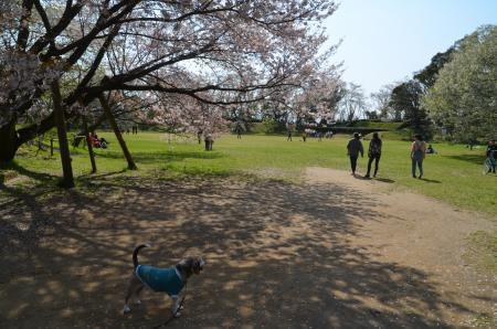 20200402佐倉の桜と桜城址公園31