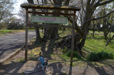 20200402佐倉の桜と桜城址公園37