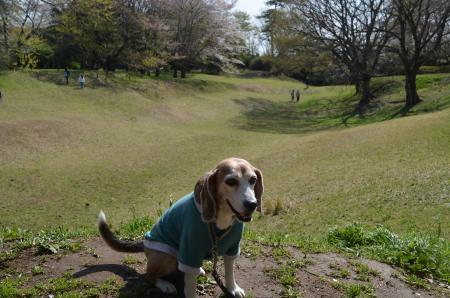 20200402佐倉の桜と桜城址公園38