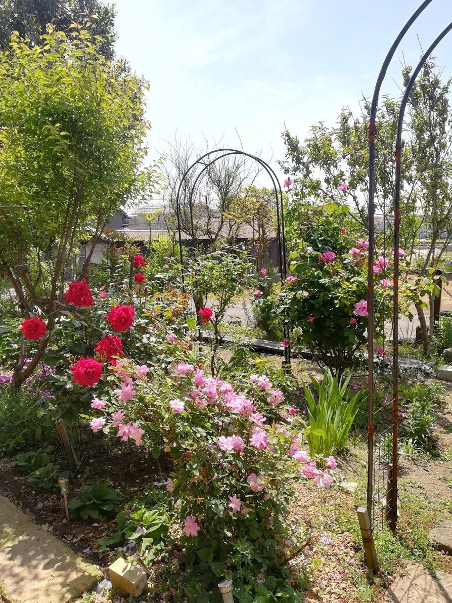 庭のバラ20年5月