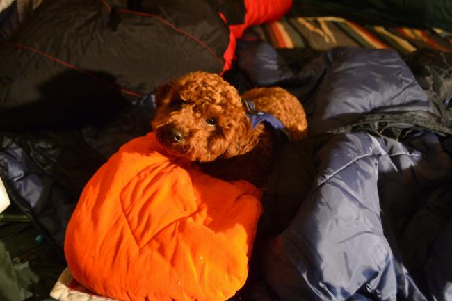 何がなんでもキャンプだし 犬連れキャンプ トイプードル ココア リード 乗り物酔い 外気 嘔吐 ひょっこりはん 緊急事態宣言 新型コロナ