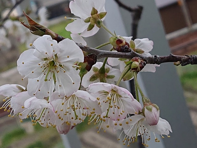 桜桃 (サクランボの花ね!)が満開です!