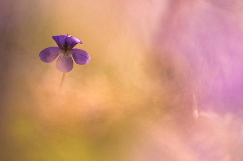 Violette2.jpg