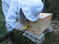 ミツバチが元気に飛び出します♪(20200704)