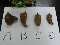 根津さんの有機栽培の畑で採れた里芋(20200416-1)