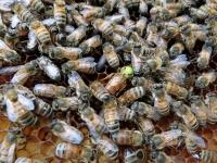 今年生まれの女王蜂も元気♪(20200806))