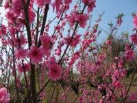 養蜂場いっぱいに咲く花桃の木でお仕事中(20210319)