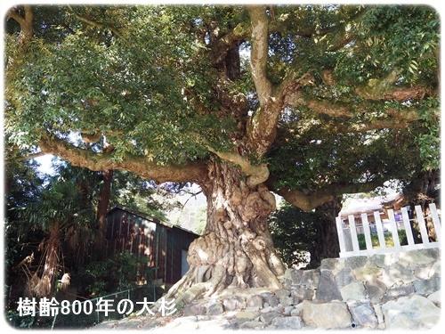 筑波山神社大杉