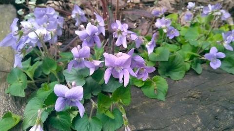 タチツボスミレの花