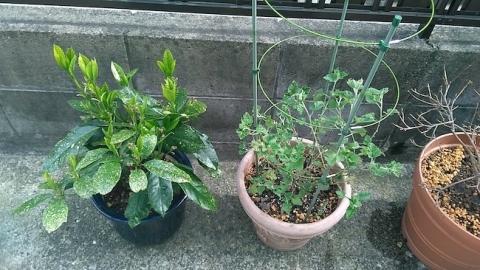 鉢植えの植え替えを春に行う(スモークツリーの植え替え、スファラルシアの植え替え、アオキの植え替え)