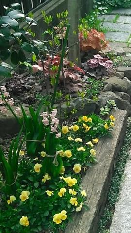 春の花壇、カラーリーフとビオラ