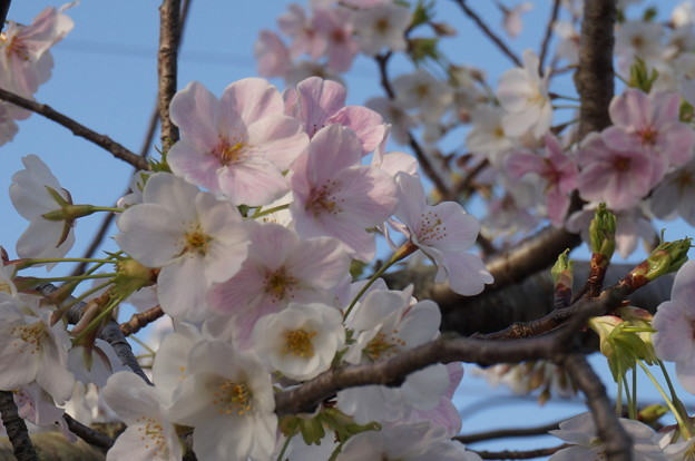 薄いピンクの桜