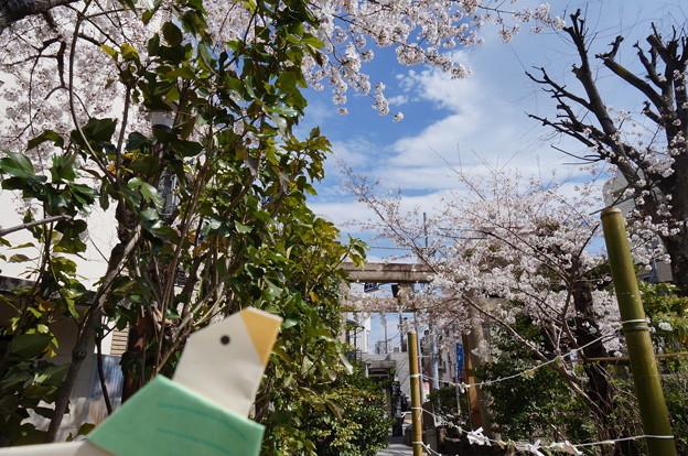 桜の花と鳩みくじ