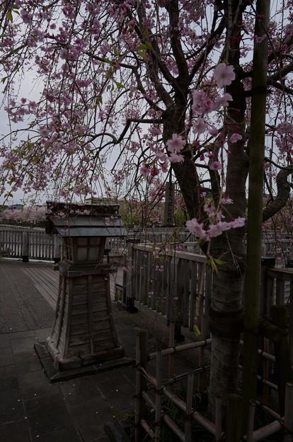 風情ある枝垂れ桜