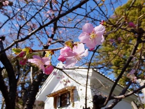 鹿嶋神社前の桜