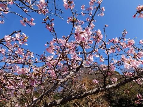 望地弁財天付近の早咲き桜
