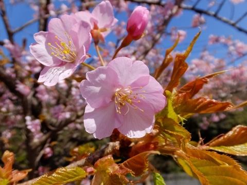 望地キャンプ場の早咲き桜