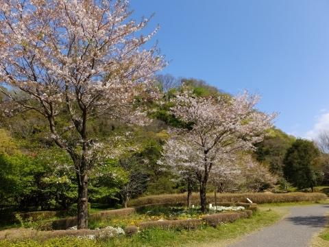 相模川自然の村・さくらの広場