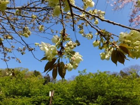 相模川自然の村さくらの広場・ウコン桜