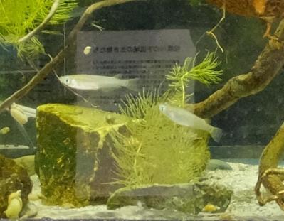 神奈川県水産技術センター 内水面試験場・メダカ