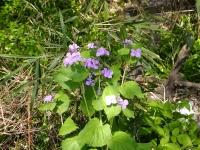 ハナダイコンの花