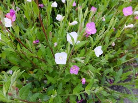 横浜水道みち付近のアカバナユウゲショウ白花