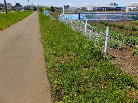 横浜水道みちのアカバナユウゲショウ