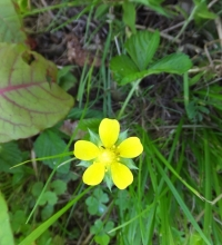 黄色い花・ヘビイチゴ?