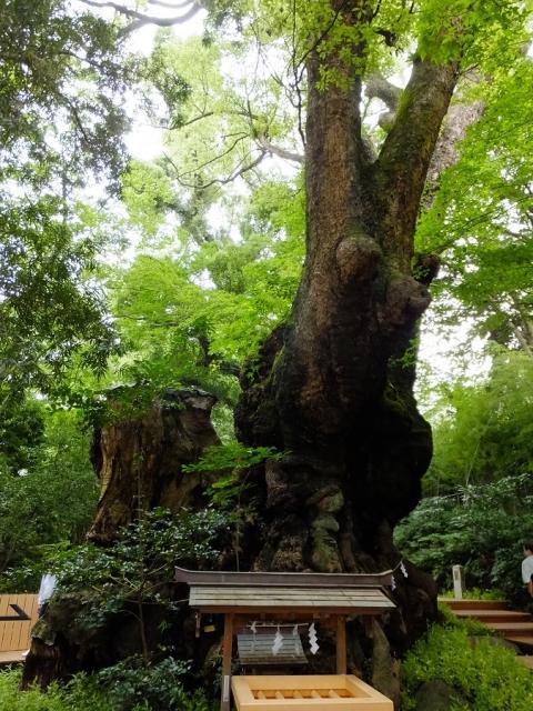 来宮神社の大樟(大楠)