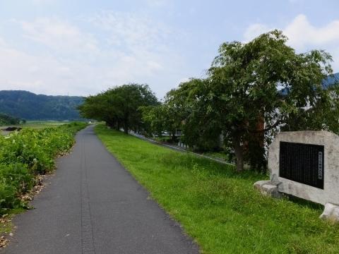 多摩川左岸堤防桜堤