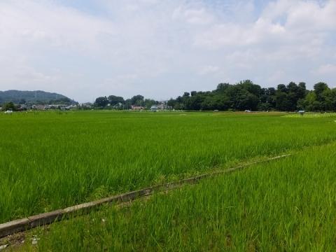 羽村市の根がらみ前水田