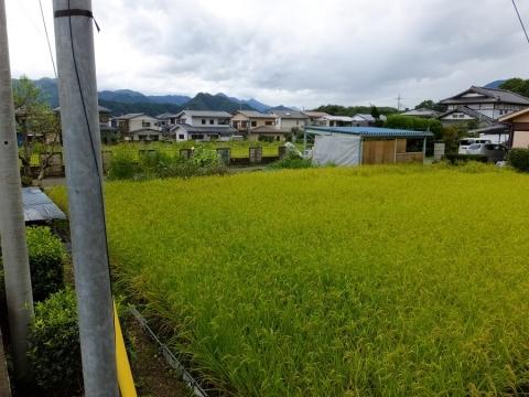 上野原用水西側の田んぼ