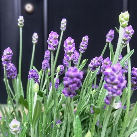 LavenderENf_200506.jpg