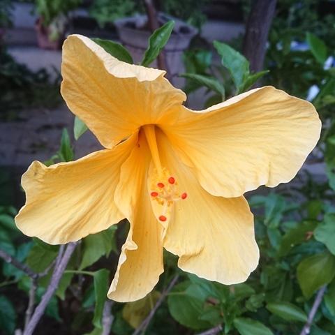 hibiscus200605.jpg