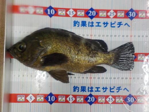 釣果 エサピチ