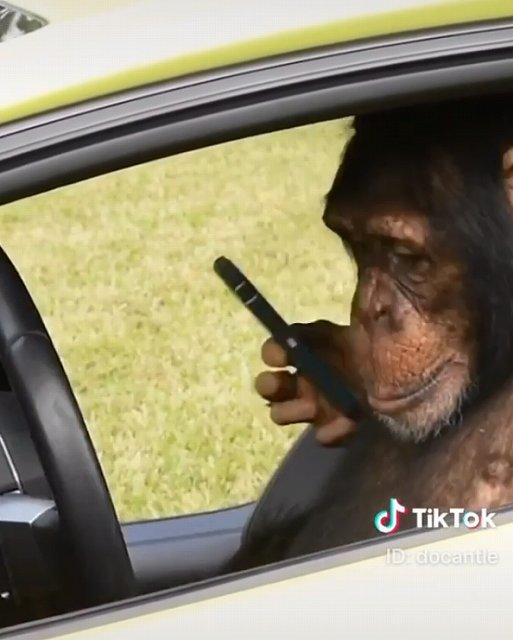 チンパンジーランボルギーニ運転