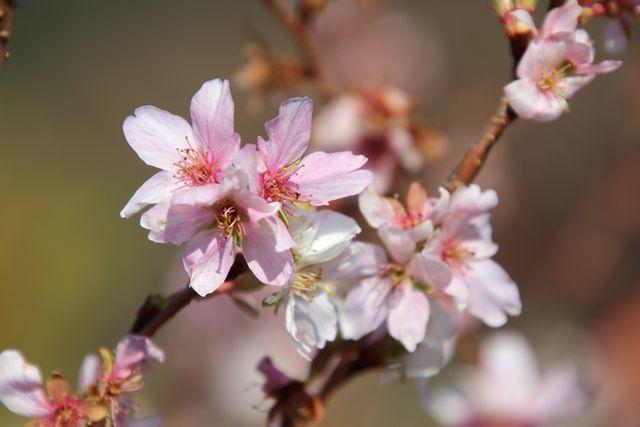 IMG_0566十月桜