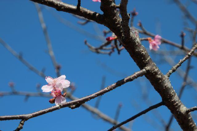 IMG_4460河津桜