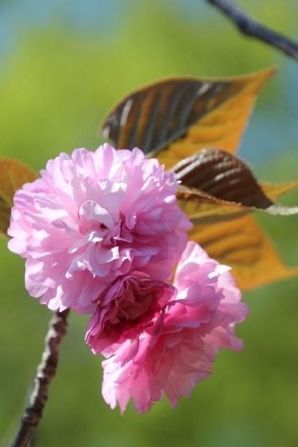 IMG_7545八重桜