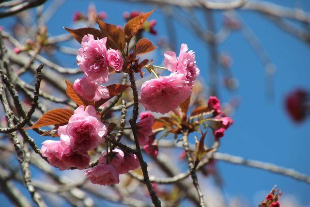 IMG_7548八重桜
