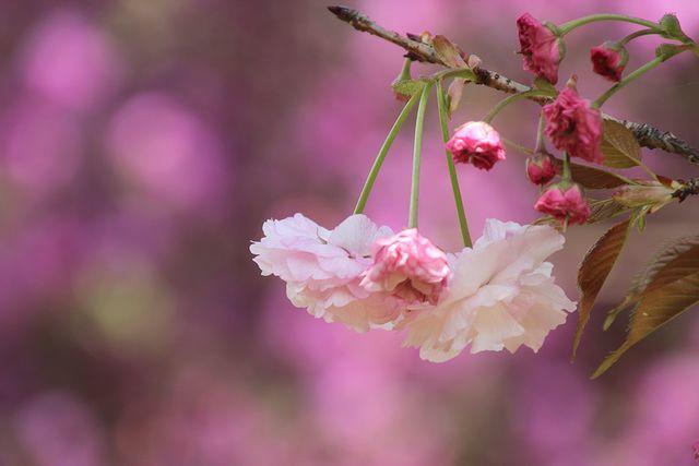 IMG_7672八重桜