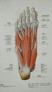 足裏 筋肉