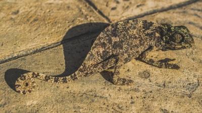 chameleon-3837131_1920.jpg