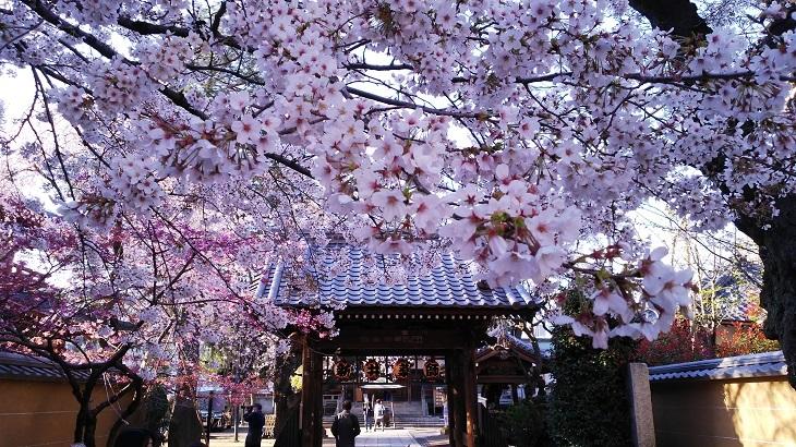 20200325新井薬師門前の桜