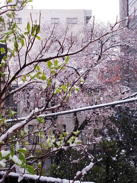 20200329桜満開に大雪
