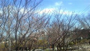 321遊歩道の桜①_R