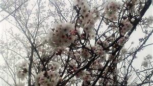 323遊歩道の桜①_R