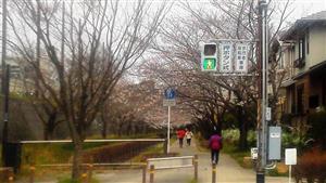 323遊歩道の桜②_R