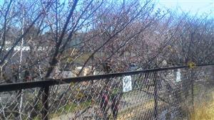 326遊歩道桜①_R